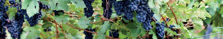 witte biologische wijn